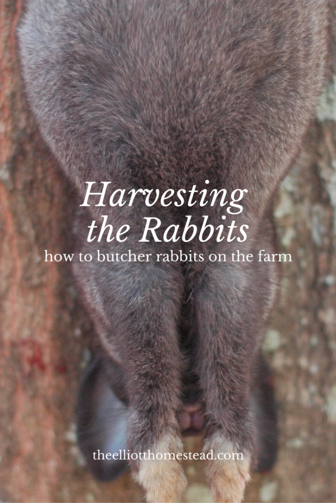 harvesting-the-rabbits