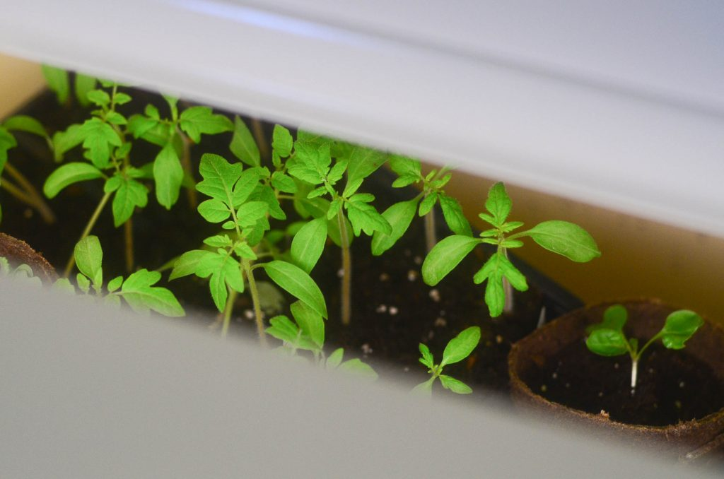 view of seedlings from between plant growing lights