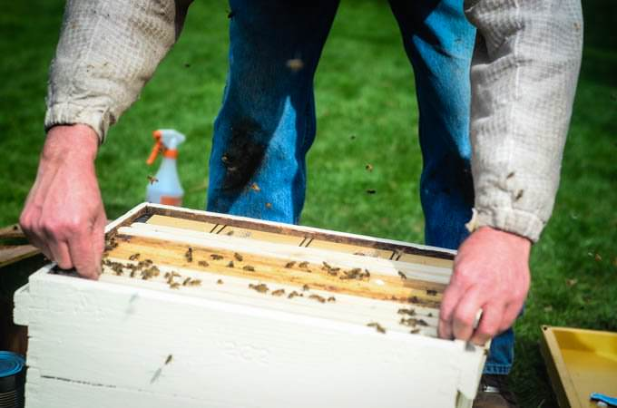 man preparing beehive with bees buzzing around