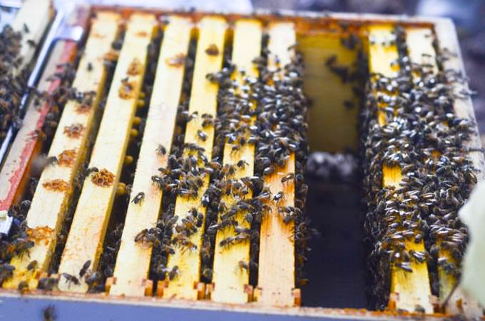 swarm of bees entering a new hive