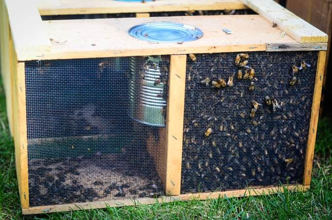 Box Of Bees With Separated Queen