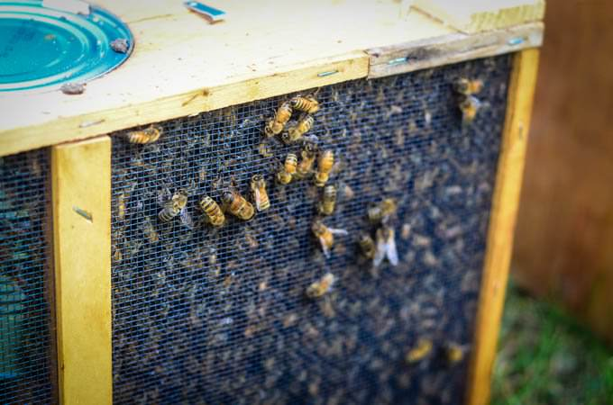 close shot of bees in bee box with isolated queen