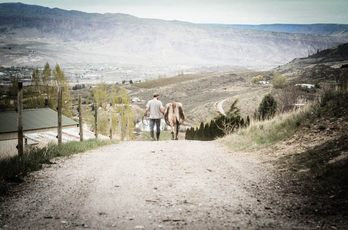 Stuart walking a dairy cow down a dirt road