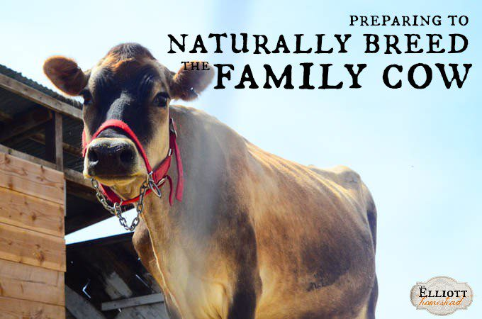 Preparing to Naturally Breed The Family Cow |The Elliott Homestead (.com).jpg