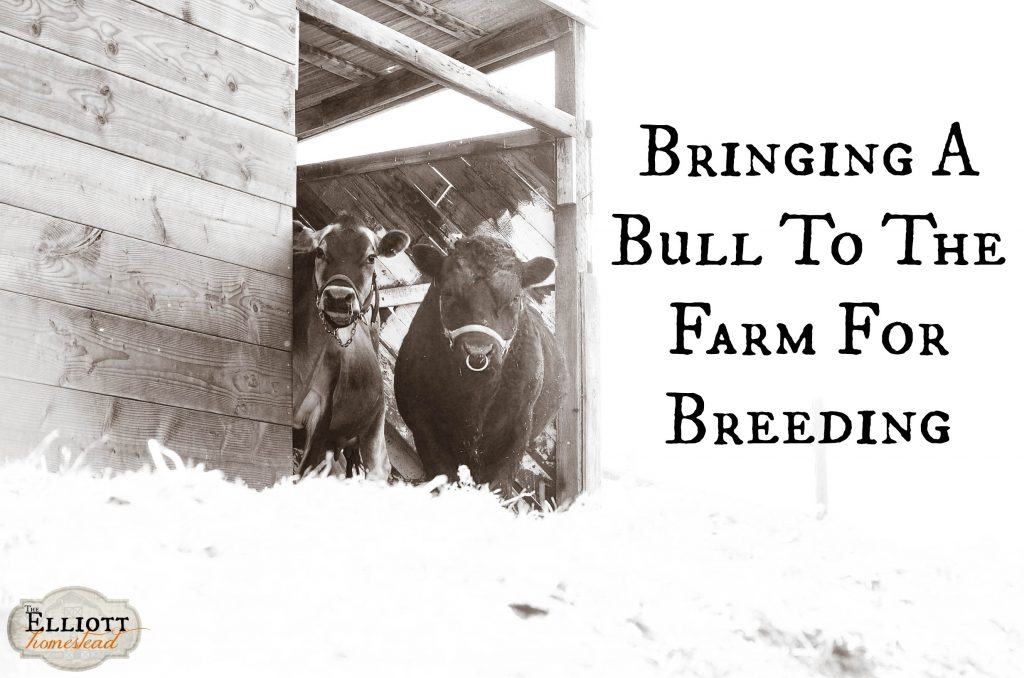 Bringing A Bull To The Farm For Breeding | The Elliott Homestead (.com)