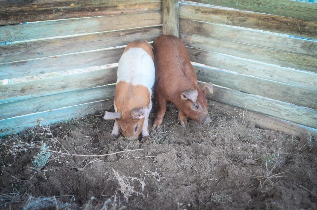 two pigs rooting around in a pen