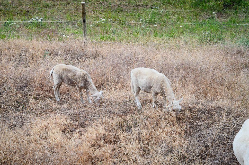 sheep-1-8