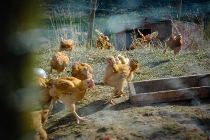 Elliott Homestead Meat Chickens