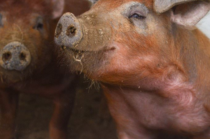 Rampant Pigs | The Elliott Homestead (.com)