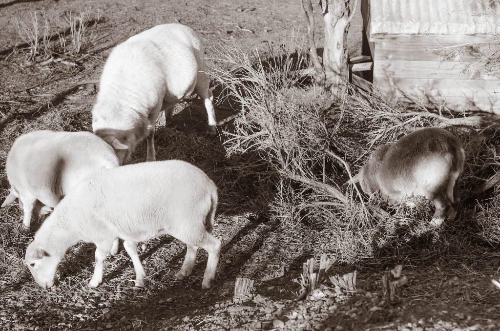 Frozen sheep | The Elliott Homestead (.com)