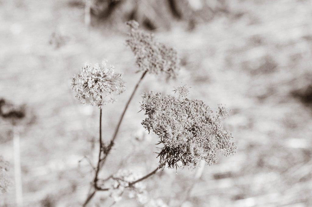 Frozen carrot flowers | The Elliott Homestead (.com)