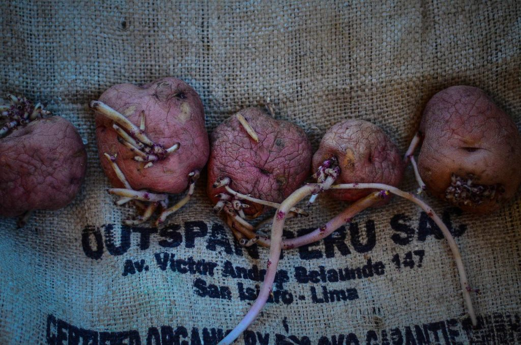 How To Store Potatoes | The Elliott Homestead (.com)