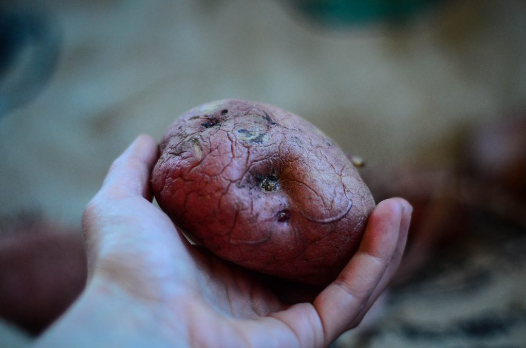 A wrinkly, but still delicious storage potato | The Elliott Homestead