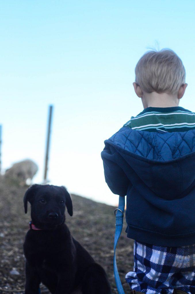 Livestock Guardian Dogs | The Elliott Homestead