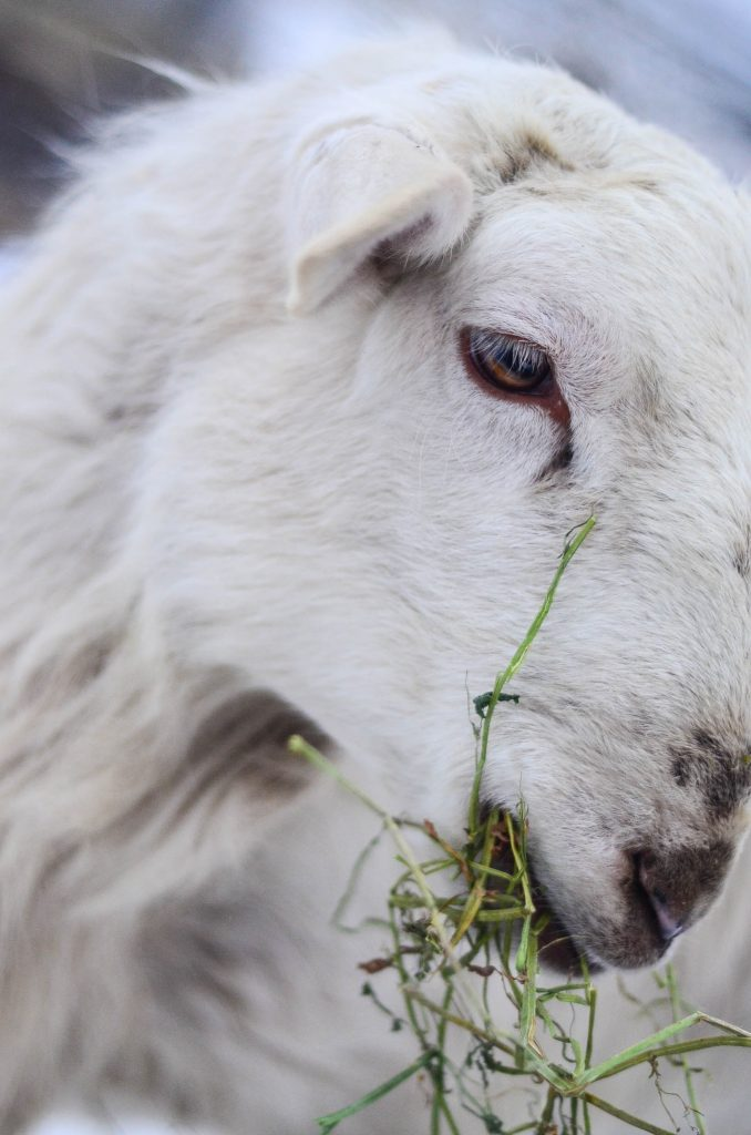 Our first lamb harvest | The Elliott Homestead