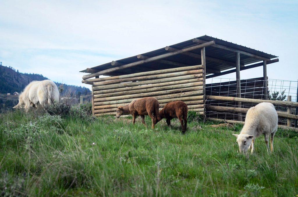 Lambing | The Elliott Homestead
