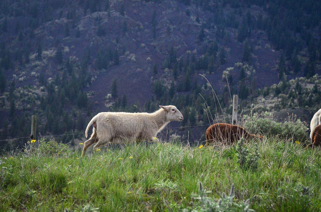 Lambing on the homestead | The Elliott Homestead