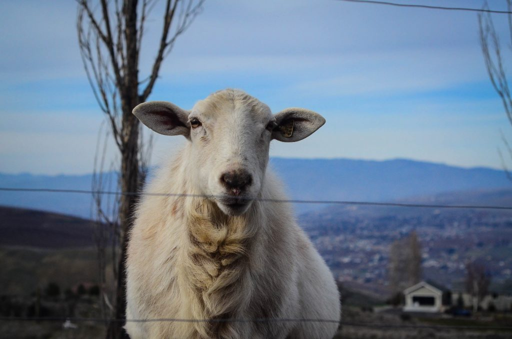 Hamish, the ram | The Elliott Homestead