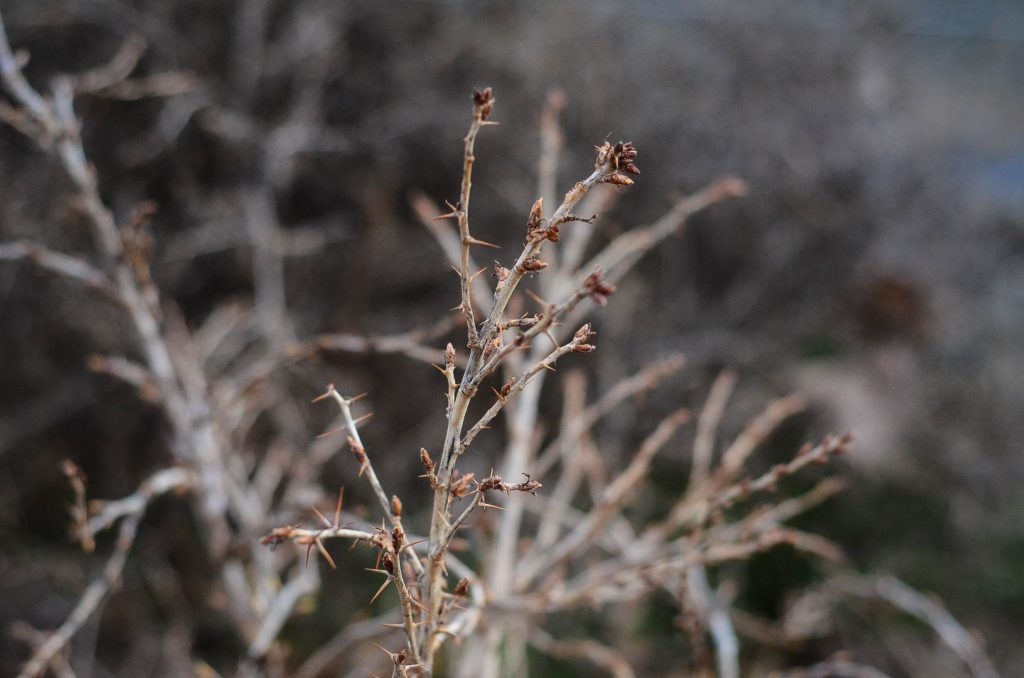 Budding gooseberry bush | The Elliott Homestead