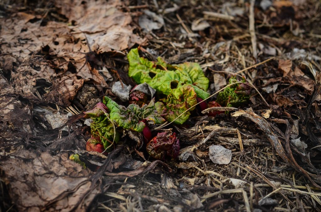 The beginnings of rhubarb | The Elliott Homestead