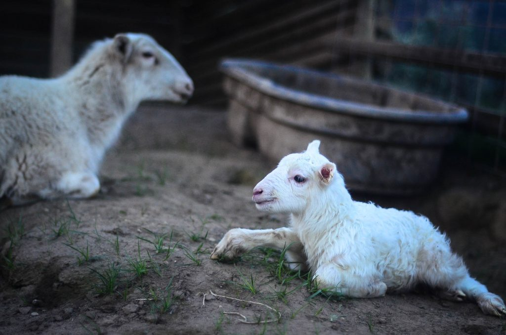 The Lamb of God | The Elliott Homestead