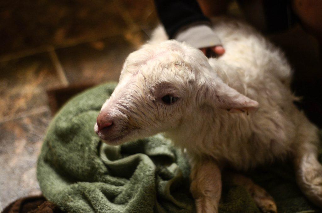 Pocket, our lamb, minutes old | The Elliott Homestead