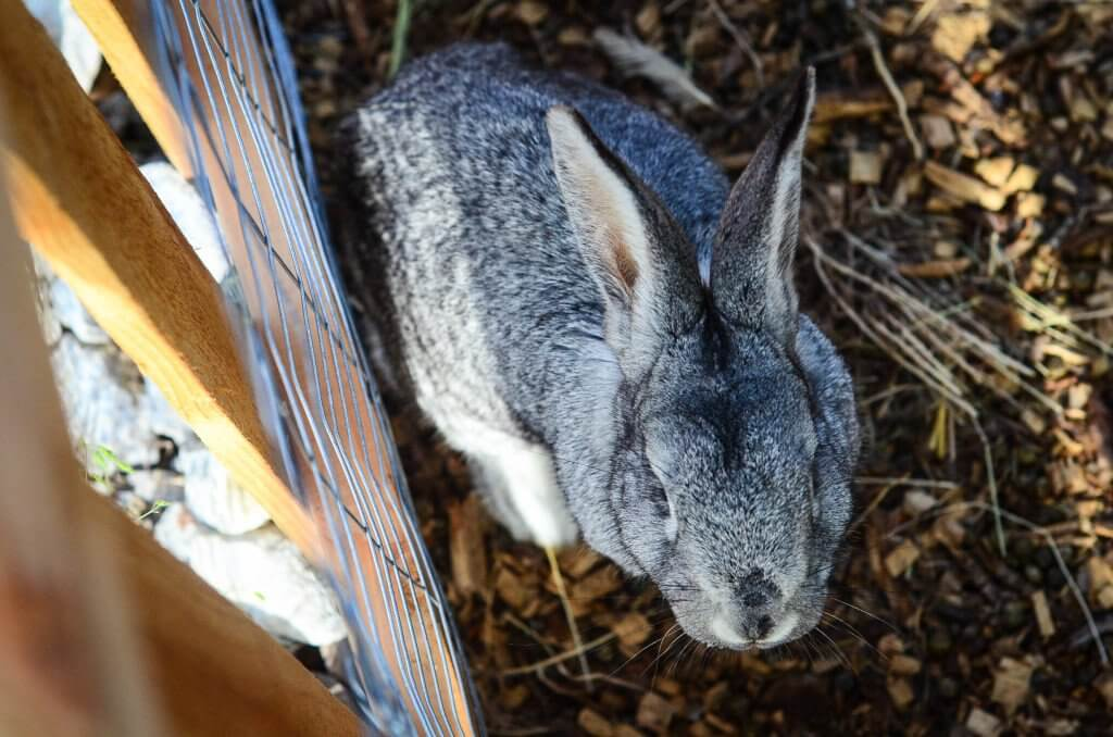 Raising Rabbits for Meat: Our breeding buck | The Elliott Homestead