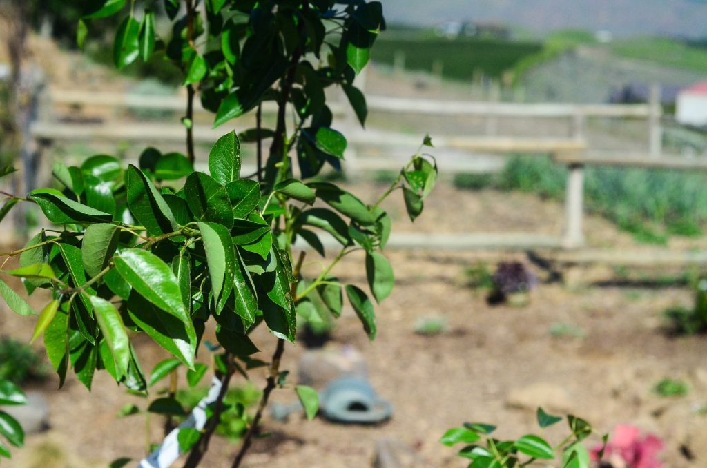 A pear tree in the potager garden | The Elliott Homestead