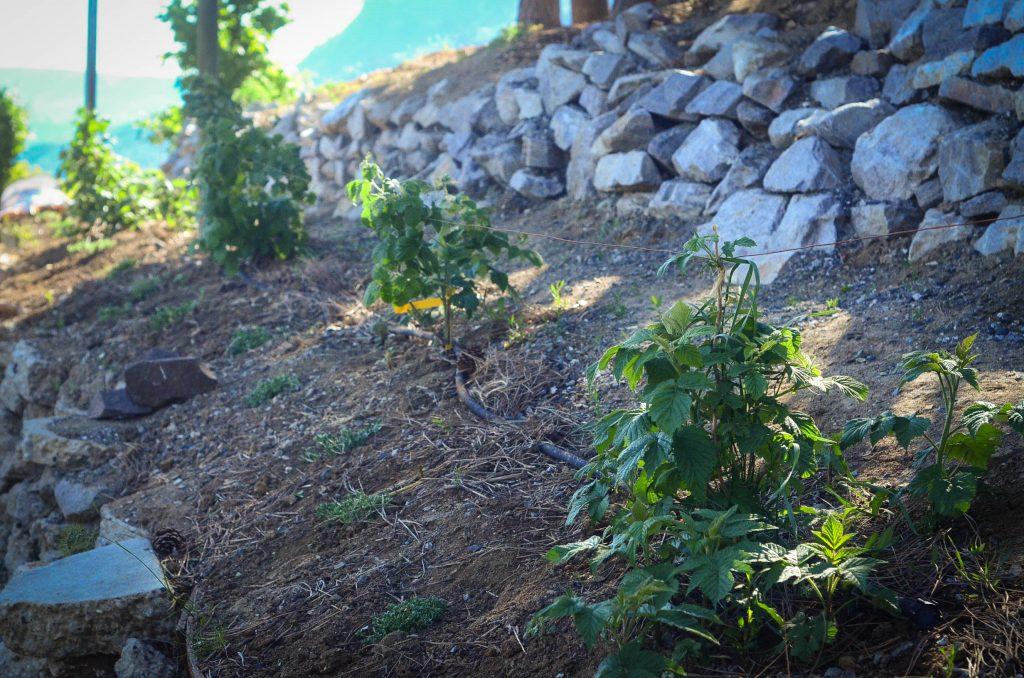 Raspberries in the potager garden | The Elliott Homestead