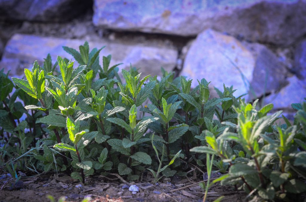 Mint in the potager | The Elliott Homestead
