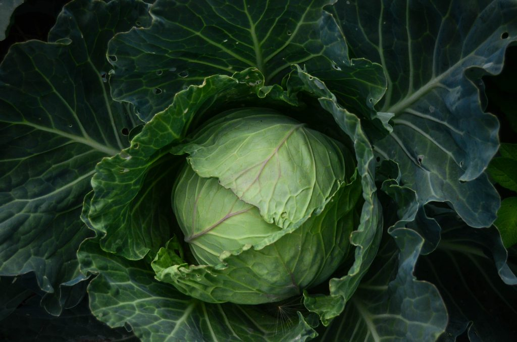 Fresh cabbage from the potager.
