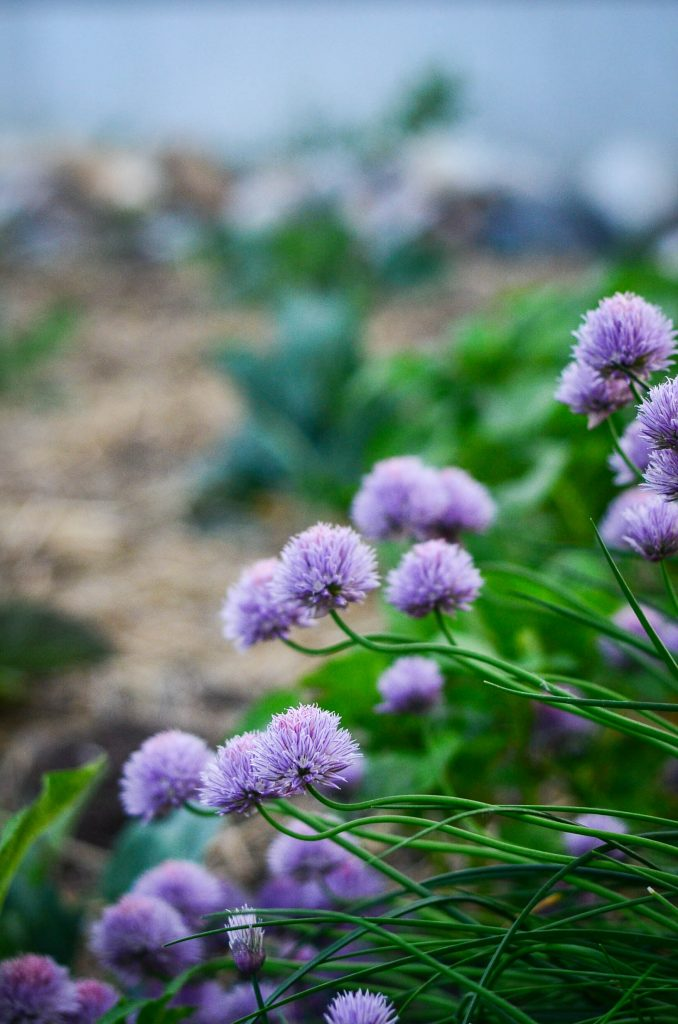 Chive blossoms.