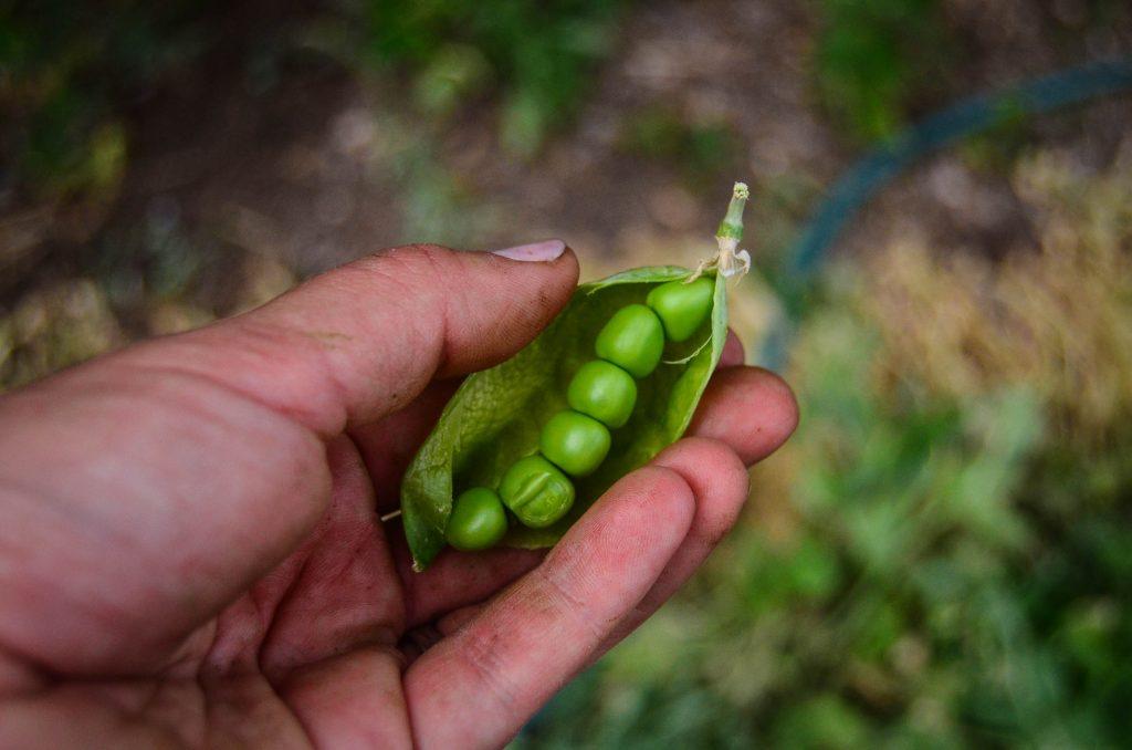 Fresh peas!