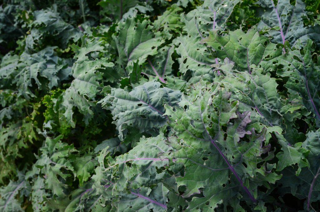 Bug eaten kale.