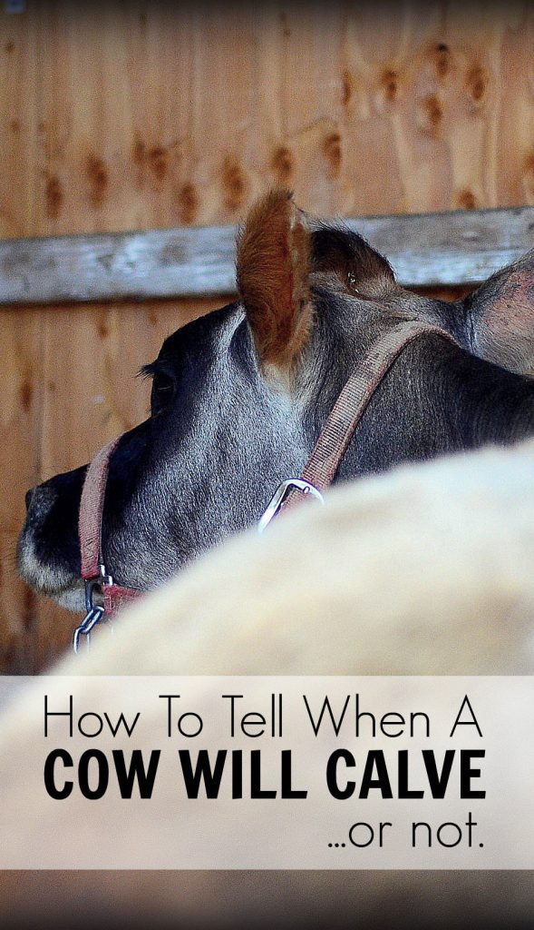 How To Tell When Your Cow Will Calve (an inexperienced dairy woman's experience) | The Elliott Homestead
