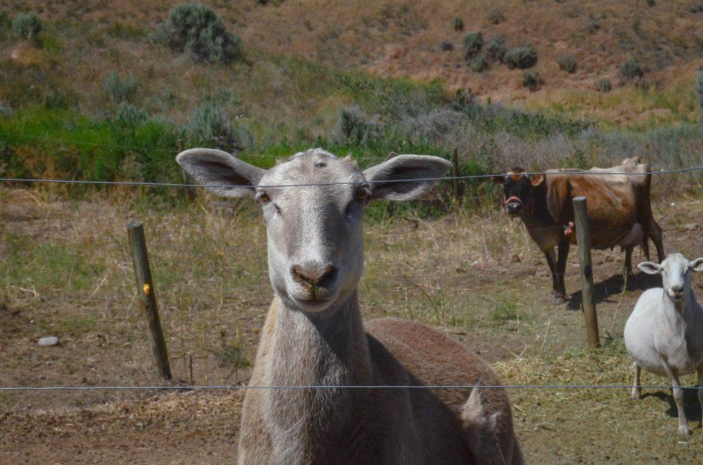 Eleanor, the ewe   The Elliott Homestead
