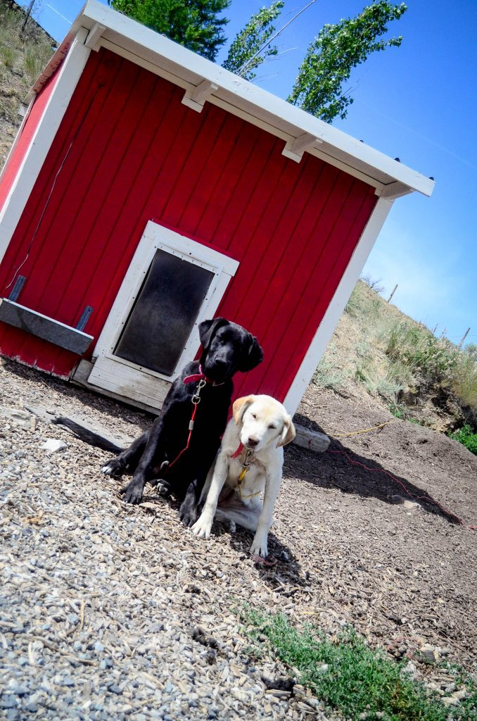 The pups are getting big!   The Elliott Homestead