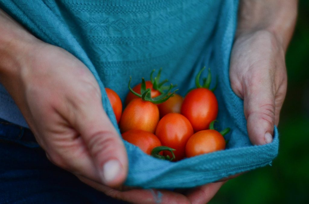 The first of the year's tomatoes | The Elliott Homestead