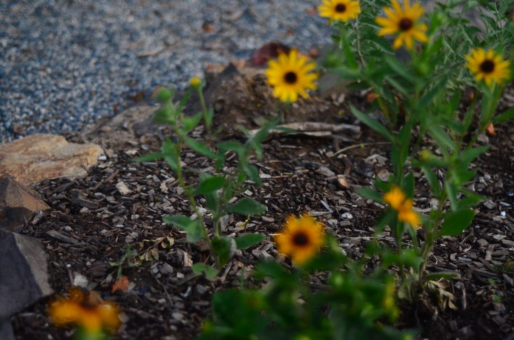 Blackeyed Susans | The Elliott Homestead