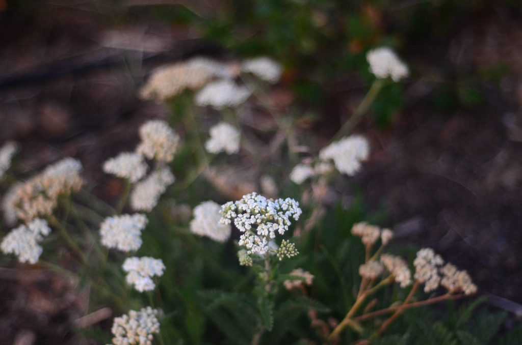 Wild yarrow | The Elliott Homestead