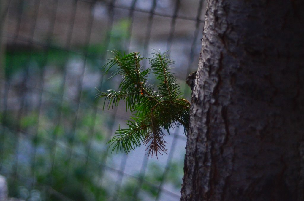 Baby pine | The Elliott Homestead