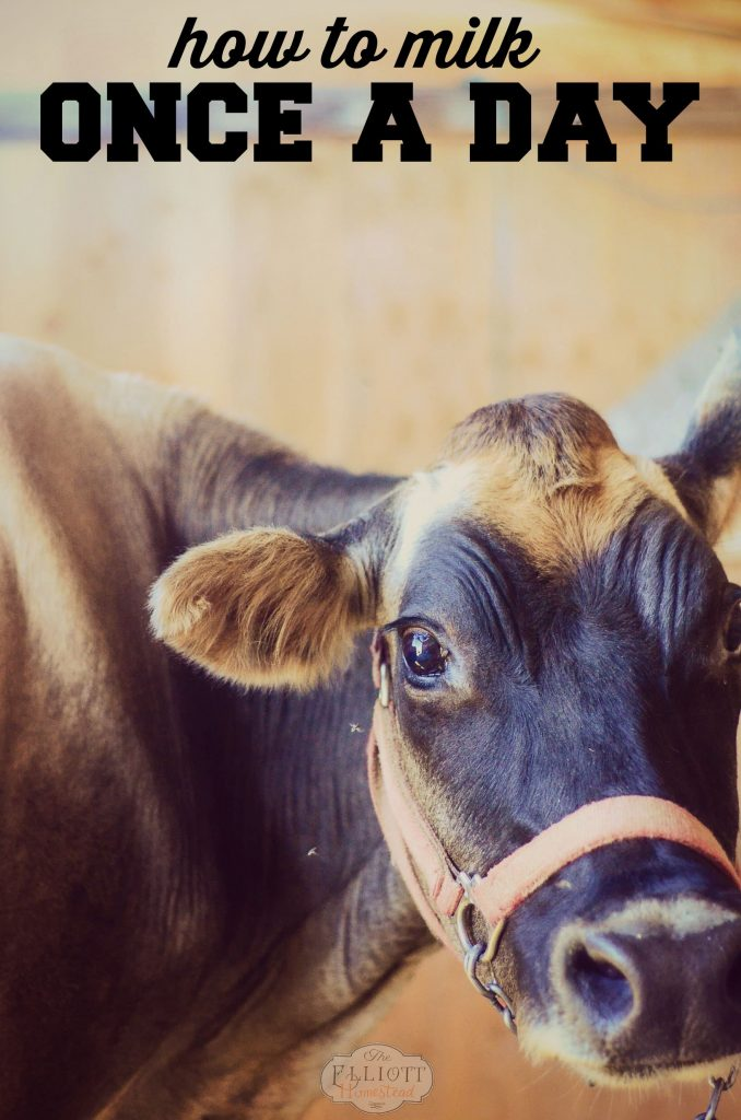 Milk Cow: How to milk once a day! | The Elliott Homestead (.com)