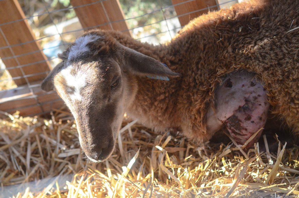 Poor lamb | The Elliott Homestead