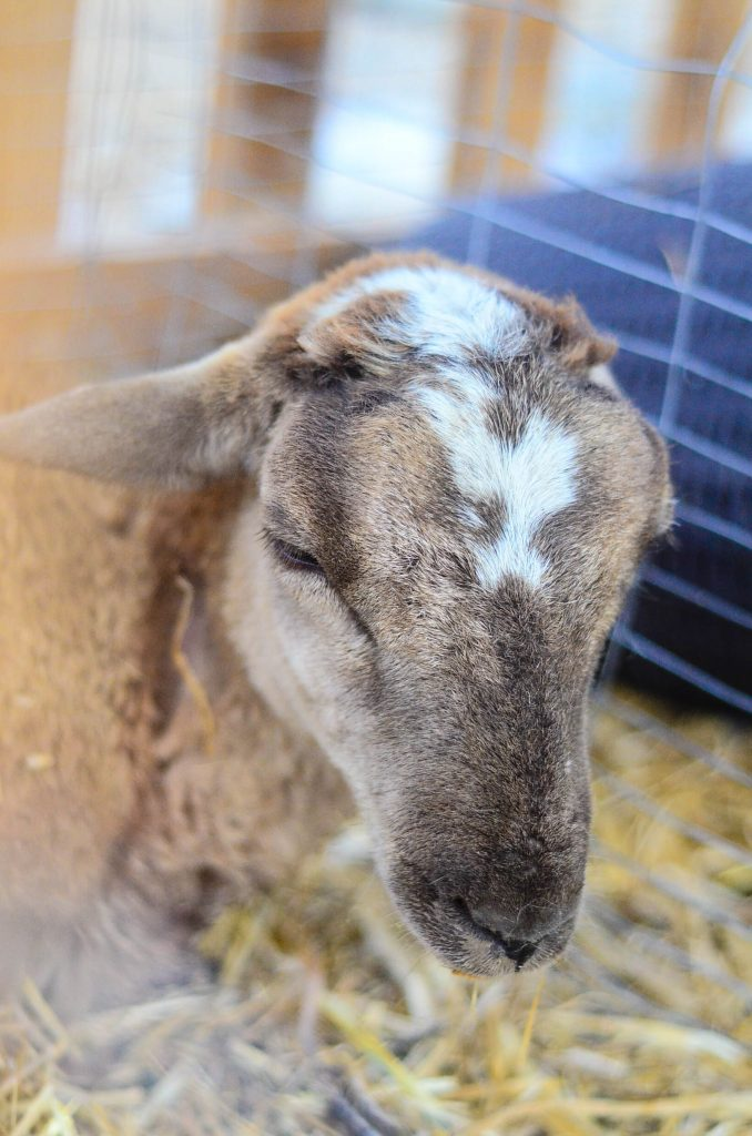 Ram Lamb | The Elliott Homestead