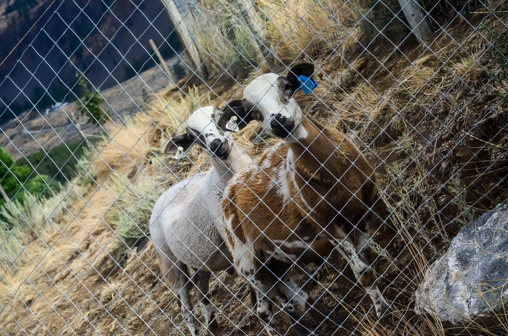 Ram lambs for meat | The Elliott Homestead