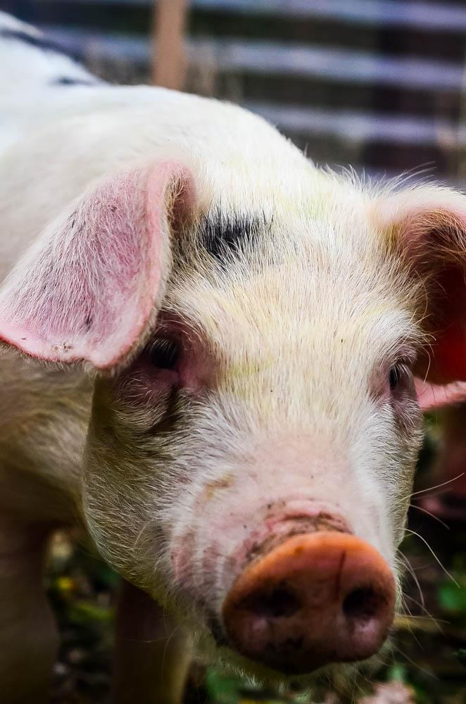 Harry, the boar | The Elliott Homestead