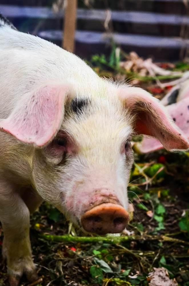 Old Spots: The new breeding pig in town! | The Elliott Homestead (.com)