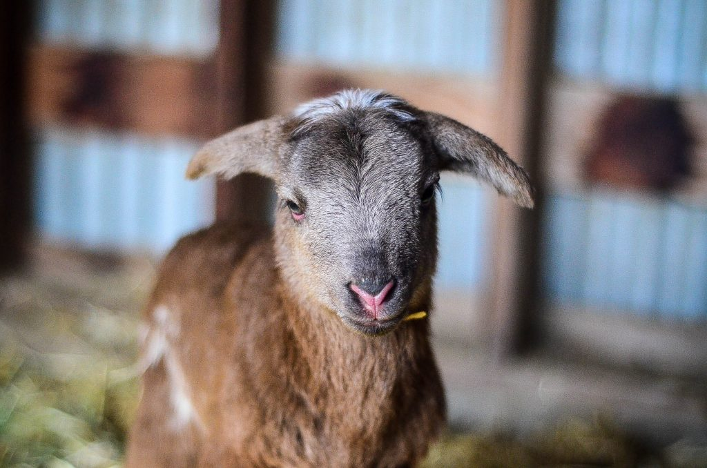 Farm Life: New Lambs | The Elliott Homestead