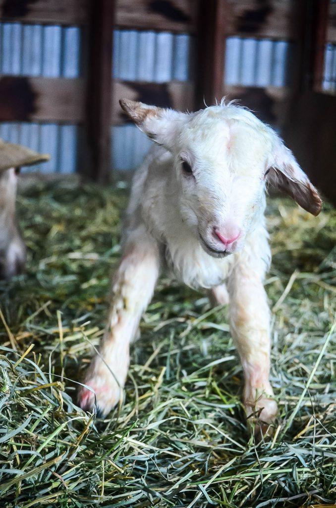 Little Lamb | The Elliott Homestead