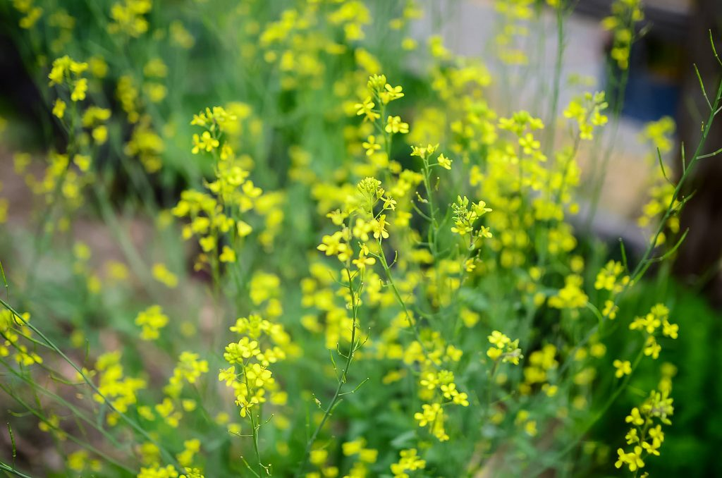 Mustard gone to flower